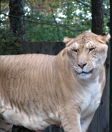 Top 5 Liger Pictures